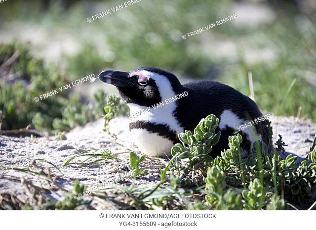 Jackass Penguin, Boulders Beach, South Africa