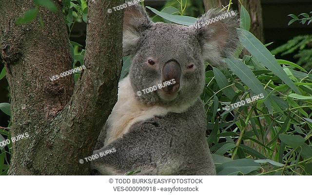 Koala bear turning head and looking around
