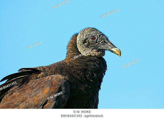 American black vulture (Coragyps atratus), head portrait, USA, Florida, Myakka National Park
