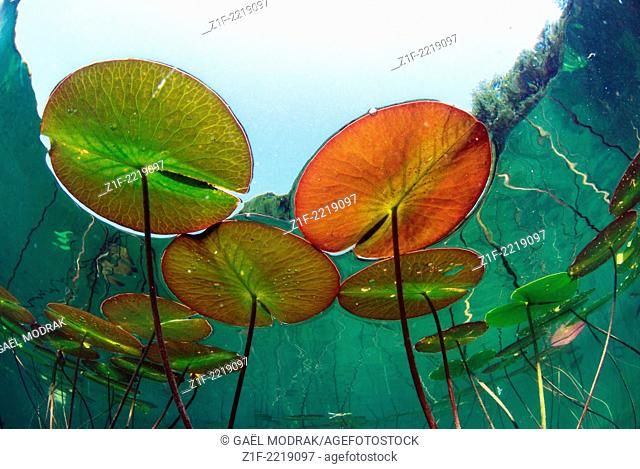 European water lily's underwater view in a lake of France. Nymphaea alba