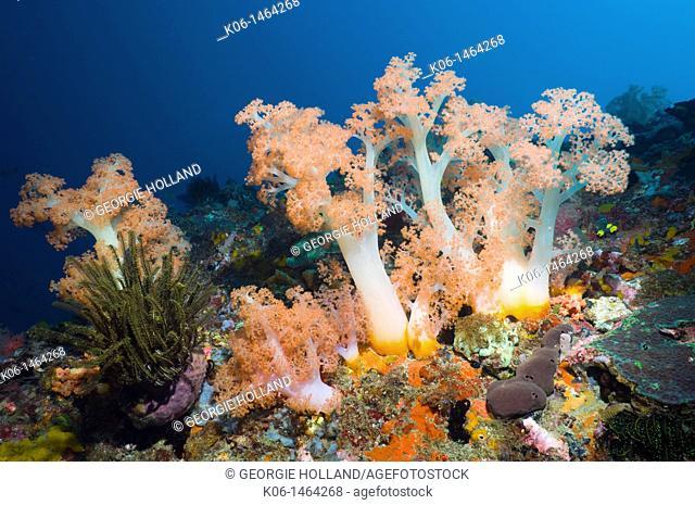 Tree coral Scleronephthya sp  Rinca, Komodo National Park, Indonesia