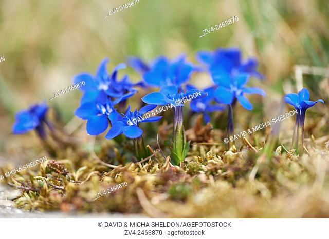 Close-up of spring gentian (Gentiana verna) blossoms in spring