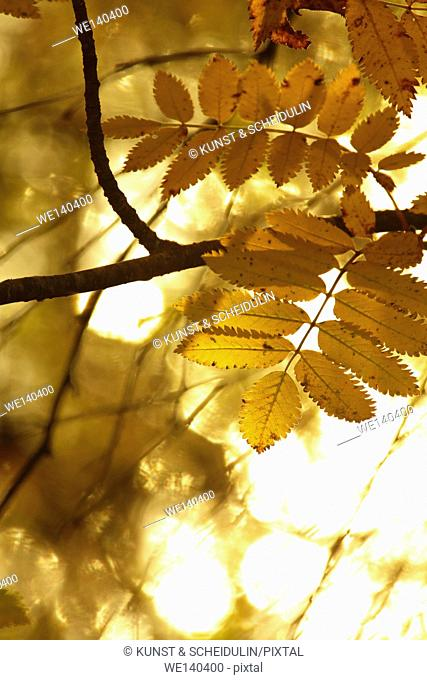The serrated leaves of a mountain ash are lit by the bright autumn sun. A lake glitters in the background