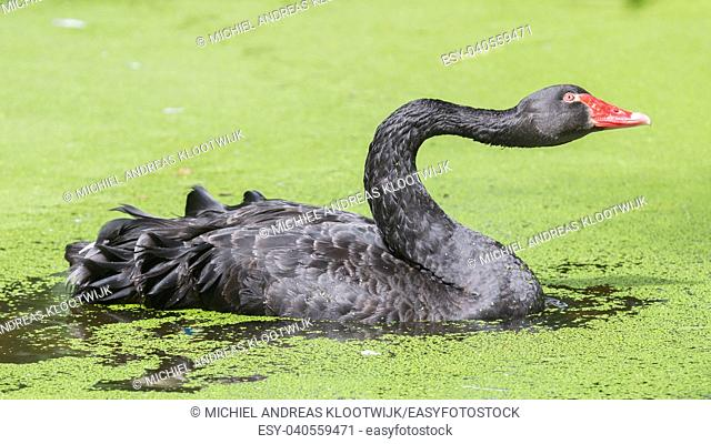 Black swan is swimming in a dirty pond