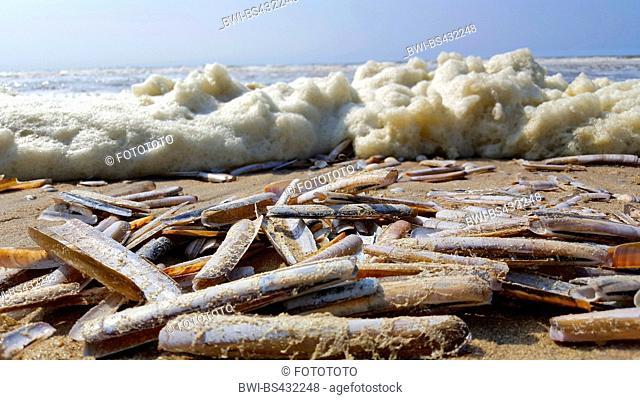 common razor clam, narrow jackknife clam, sword razor (Ensis ensis), empty sword razors being washed up on the beach
