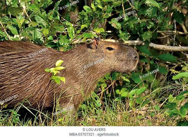 Brazil, Pantanal, Capibara water pig, Hydrochoerus hydrochaeris, in the undergrowth at the riverside of the Rio Claro