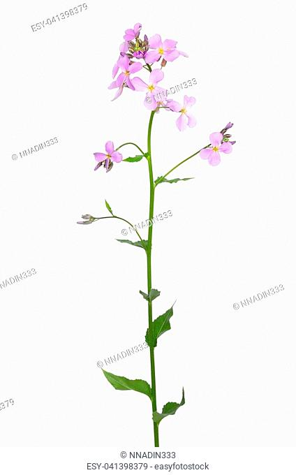 Dame's Rocket (Hesperis matronalis) flower isolated on white background