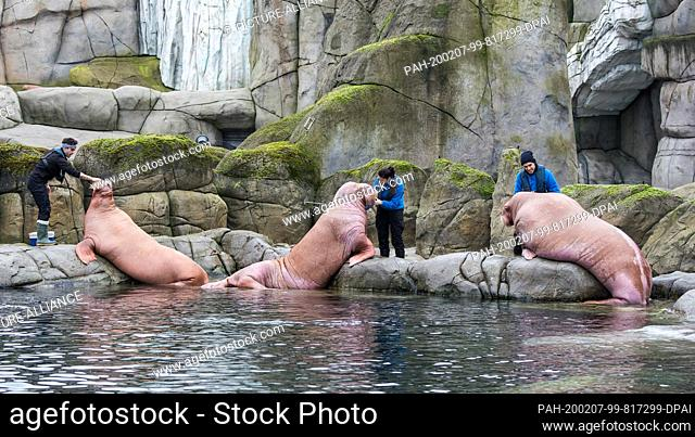 07 February 2020, Hamburg: Three walruses from Spain are fed in Hagenbeck's zoo. Three animals from a zoo in Valencia are to be covered by Europe's only...