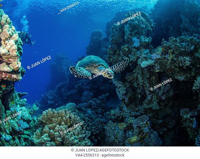 Hawksbill turtle Eretmochelys imbricata. Red Sea, Sharm el-Sheikh, Egypt