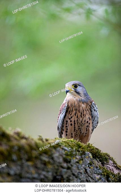A Kestrel on the large branch of a tree