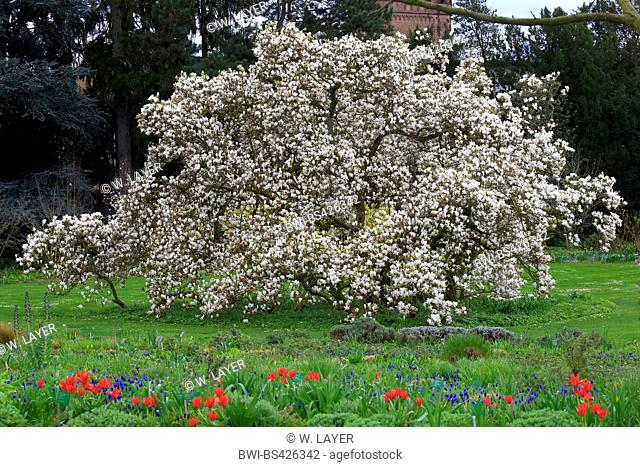 saucer magnolia (Magnolia x soulangiana, Magnolia soulangiana, Magnolia x soulangeana, Magnolia soulangeana), blooming magnolia, Germany