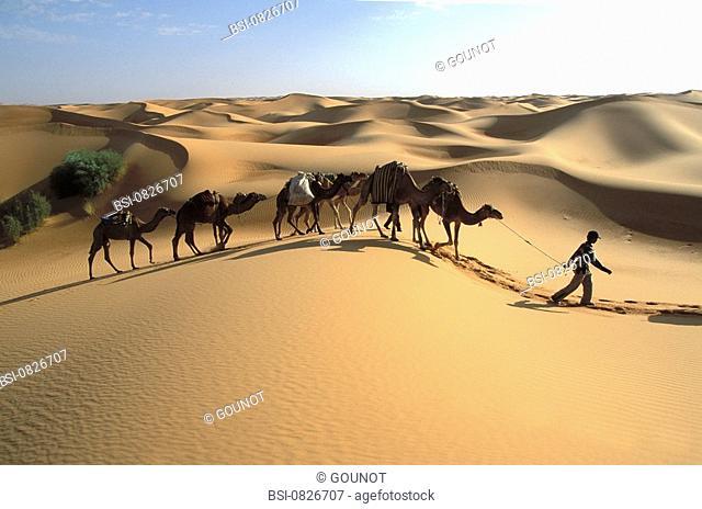 Dromedary Sahara meharee trek on a dromedary back in the region of Timimoun. Gourara, Grand Erg Occidental, Algeria