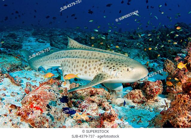 A zebra shark Stegostoma fasciatum, sometimes called a leopard shark. on sandy rubble, with schools of fishes, South Ari Atoll, The Maldives