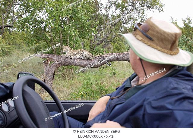 Man Watching a Leopard on a Branch from the Drivers Seat of a Open Game Vehicle  Elephant Plains Game Lodge Sabi Sands, Mpumalanga Province, South Africa