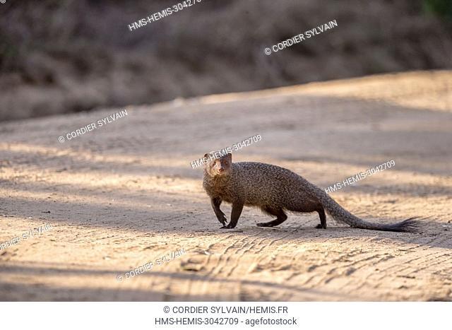 Sri Lanka, Yala national patk, Ruddy mongoose (Herpestes smithii)
