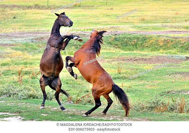 Horses fighting on spring field