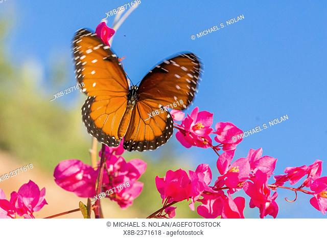 Queen butterfly, Danaus gilippus, on queen's wreath, Antigonon leptopus, Himalaya Beach, Sonora, Mexico