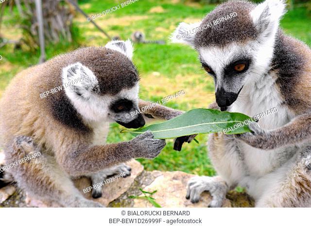 Lemur katta - lac. Lemur catta - w ogrodzie zoologicznym Ring-tailed lemur, Lemur catta, in a zoological garden