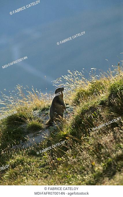 Marmot on the watch and ready to whistle in case of intrusion or danger in the natural regional park of Queyras
