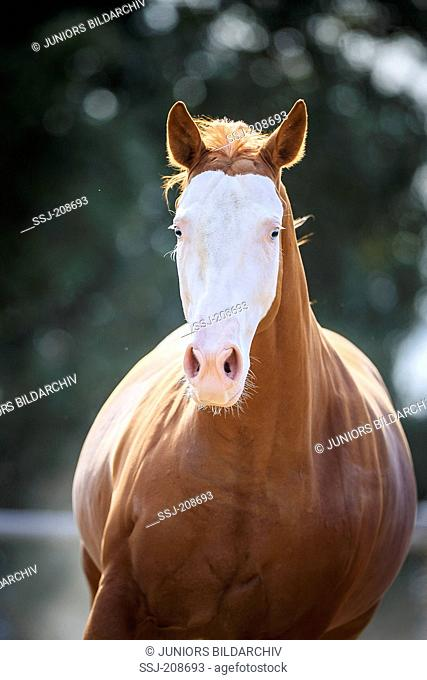 American Paint Horse. Portrait of chestnut gelding. Italy