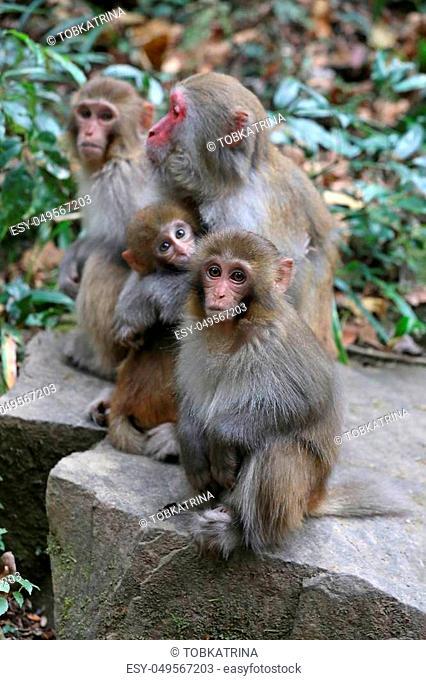 Wild Feral Rhesus Monkeys Living in China