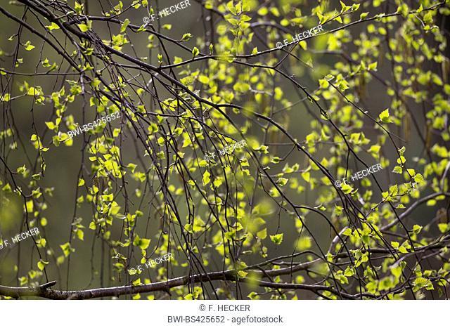 common birch, silver birch, European white birch, white birch (Betula pendula, Betula alba), leaf shoot in spring, Germany