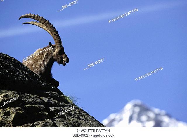 Alpine ibex (Capra ibex) on rock, Italy