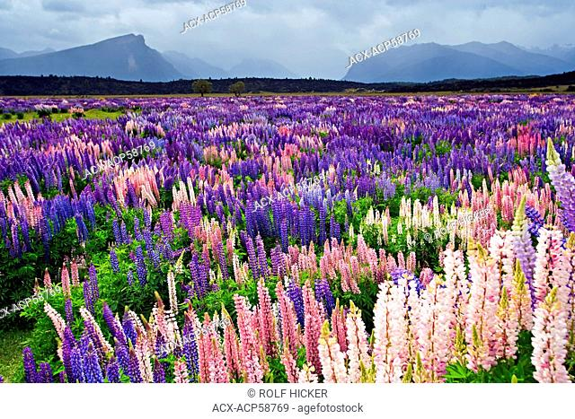 Field of Russell Lupins, Lupinus polyphyllus, in the Eglinton River Valley in Fiordland National Park along the Milford Road, So