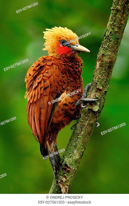Costa Rica, woodpecker