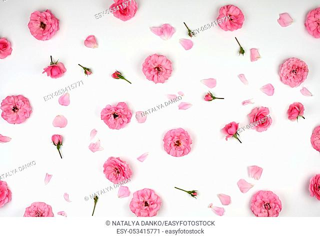blooming buds of pink roses on a white background, top view, full frame, flat lay