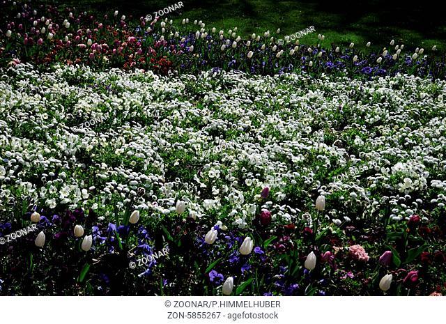 Bellis perennis, Viola x wittrockiana