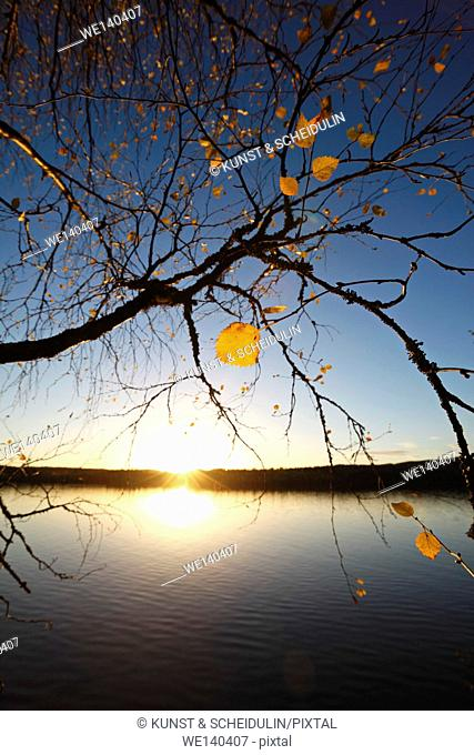 The setting sun illuminates the last yellow leaves clinging to an old birch tree. The quiet water of a lake in southern Lapland reflects the golden shine while...