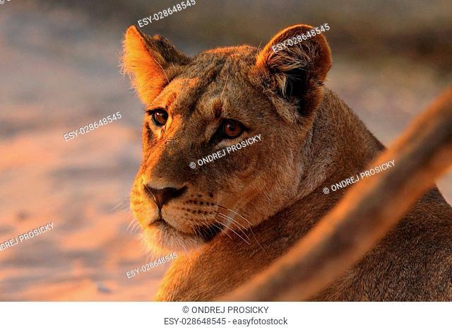 African lion, Panthera leo, detail portrait of big animal