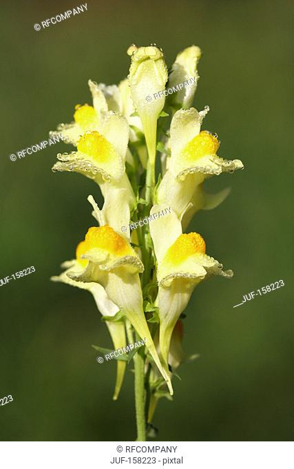 Common Toadflax - yellow blossoms / Linaria vulgaris