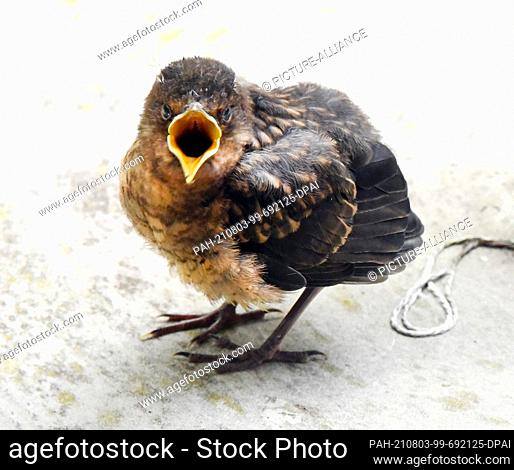 22 July 2021, Saxony, Leipzig: A young cuckoo sits in a garden and shows by opening its beak that it wants to be fed. Cuckoos lay their eggs in the nests of...