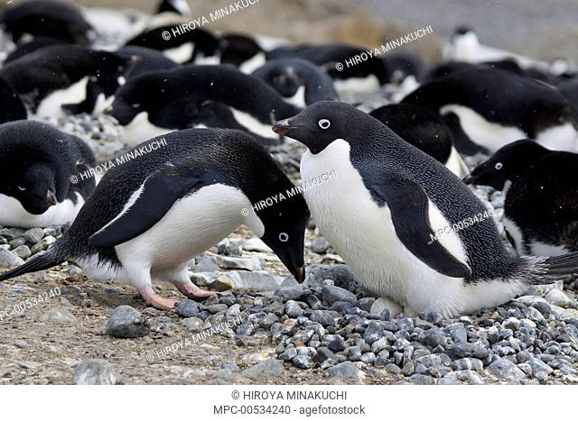 Adelie Penguin (Pygoscelis adeliae) pair engaging in courtship ritual before trading incubation duties at nest, South Georgia. Sequence 5 of 10