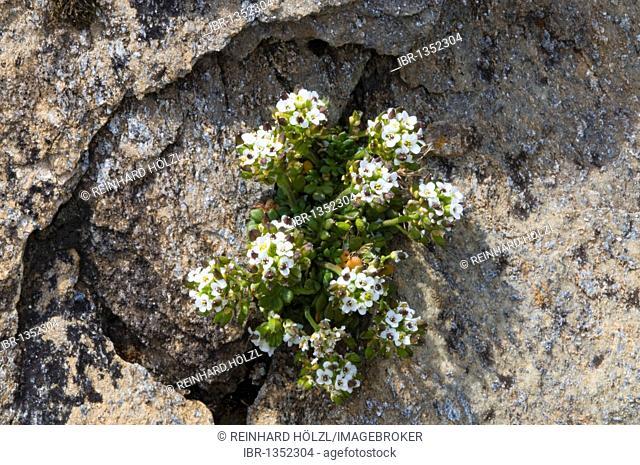 Alpine Chamois Cress (Pritzelago alpina), Gran Paradiso National Park, Valle d'Aosta, Italy, Europe