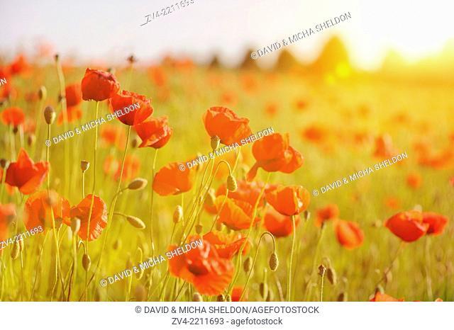 A field of flowerig Corn poppies (Papaver rhoeas) in a corn field in summer