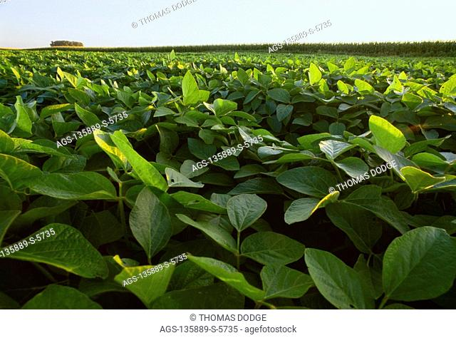 Agriculture - Mid growth soybean field in early morning light showing leaf foliage closeup in the foreground / Martin County, Minnesota, USA