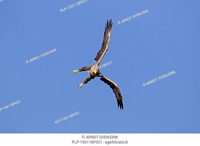 White-tailed eagle / sea eagle / erne (Haliaeetus albicilla) in flight diving against blue sky (sequence 1/4)