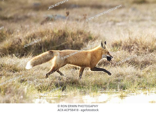 A Red Fox Vulpes vulpes adult carrying its prey in its mouth on Barrie Island, Manitoulin Island, Ontario, Canada