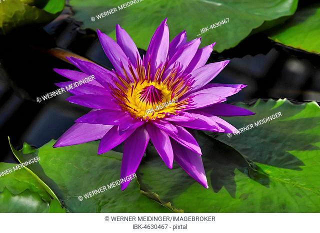Flowering of the water lily director George T. Moore (Nymphaea hybrid), Germany
