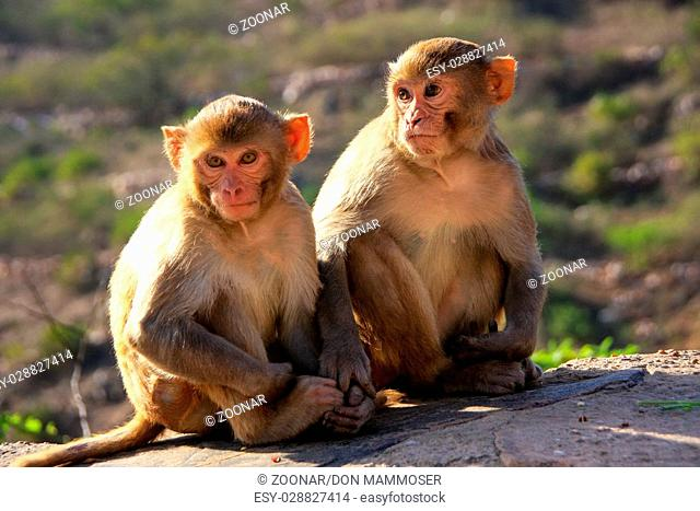 Rhesus macaques sitting near Galta Temple in Jaipur, Rajasthan, India