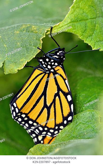 Monarch butterfly (Danaus plexippus) Newly emerged adult in cucumber patch, Greater Sudbury (Lively), Ontario, Canada