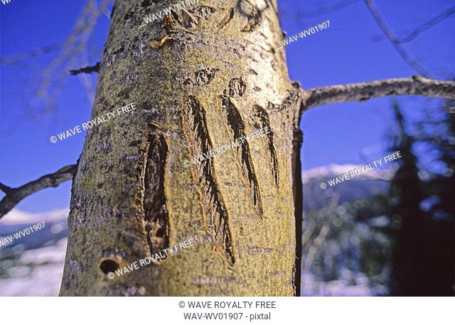 Grizzly Bear claw marks on tree, Whistler Mountain
