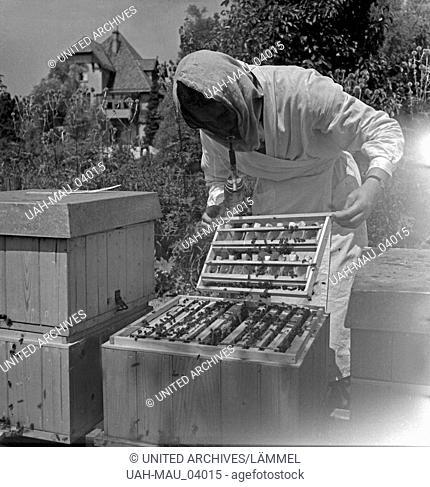 Ein Imker beruhigt die Bienen mit Dampf, um die Bienenwaben im Bienenstock zu begutachten im Landesinstitut für Bienenforschung in Celle
