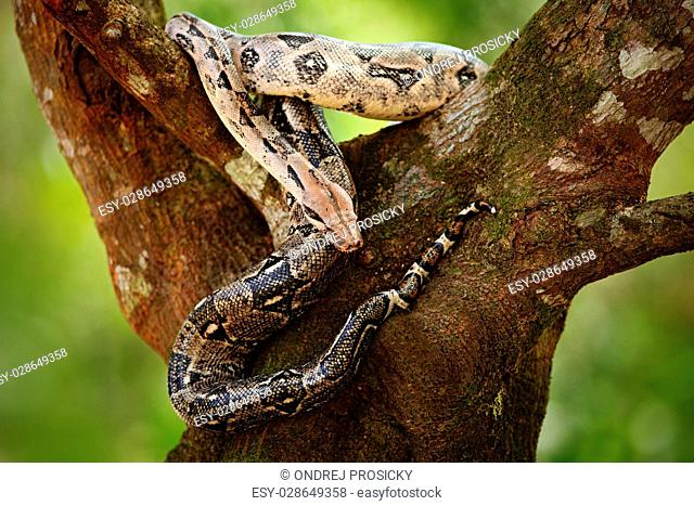 Boa constrictor snake on the tree in the wild nature, Belize