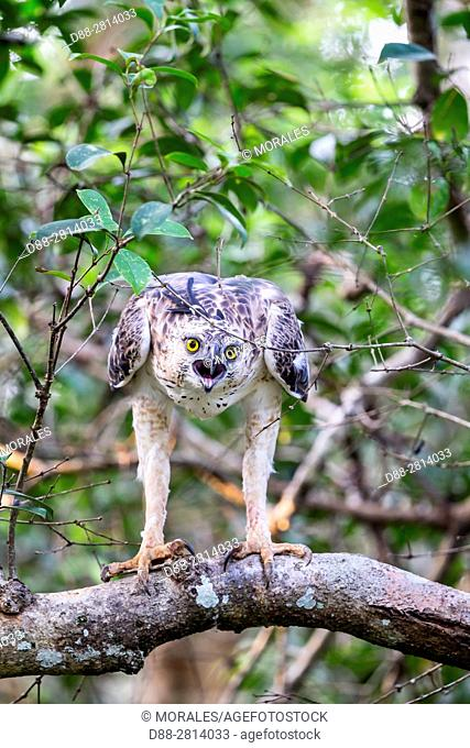 Sri Lanka, Wilpattu national patk, Changeable Hawk Eagle or Crested Hawk Eagle (Spizaetus cirrhatus), immature