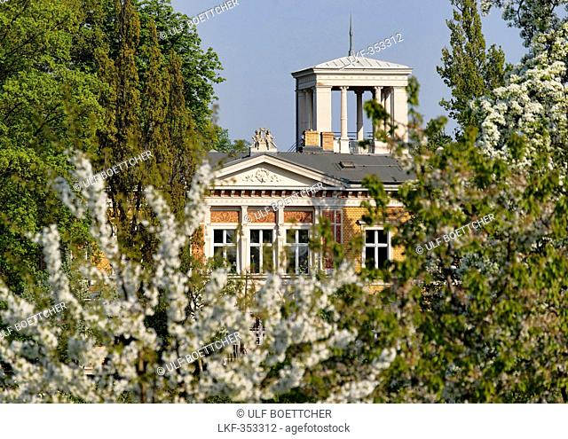 Blooming cherry trees in front of a villa, Pushkin Avenue, Potsdam, Brandenburg, Germany, Europe