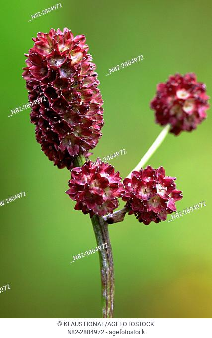 Inflorescence of Great Burnet (Sanguisorba officinalis) growing in a wet meadow - Bavaria/Germany